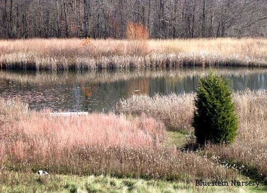 Picture of ornamental grasses around a pond for Ornamental grasses for ponds