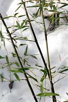 Bamboo - an ornamental grass