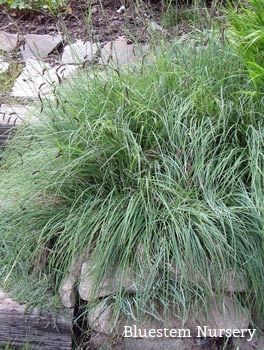 Carex flacca (Carex glauca) - Blue sedge