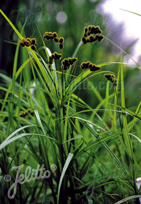 Carex sparganioides - Burr-reed sedge