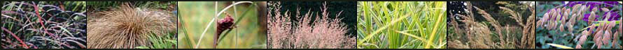 Ornamental grasses at Bluestem Nursery