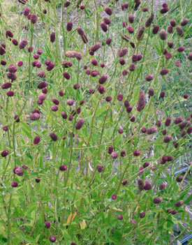 Sanguisorba officinalis 39 red thunder 39 red thunder burnet for Sanguisorba officinalis red thunder