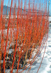 Pruning Willows For Ornamental Effect Coppicing And