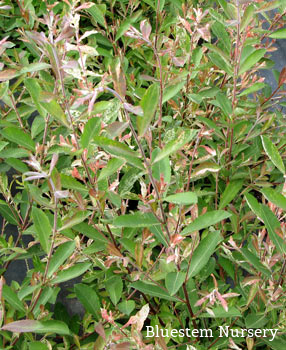 Salix cinerea 'Tricolor' - Variegated Grey Sallow