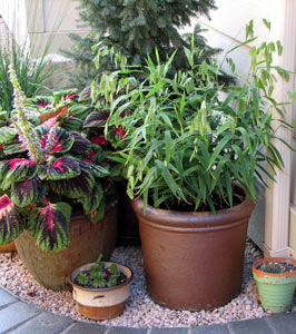 Container gardening with ornamental grasses for Tall ornamental grasses for pots