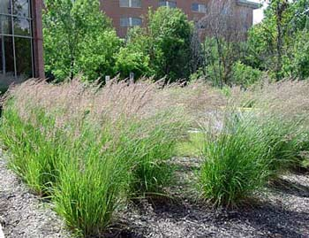 Plant Spacing For Ornamental Grasses