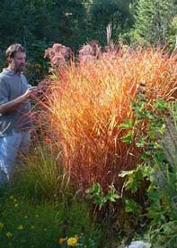 Hardiness of ornamental grasses willows miscanthus purpurascens workwithnaturefo