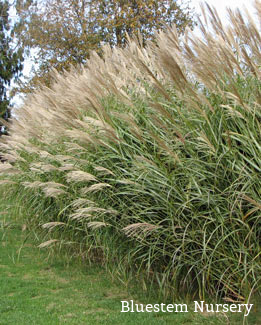 miscanthus sinensis 39 silberfeder 39 silver feather grass. Black Bedroom Furniture Sets. Home Design Ideas