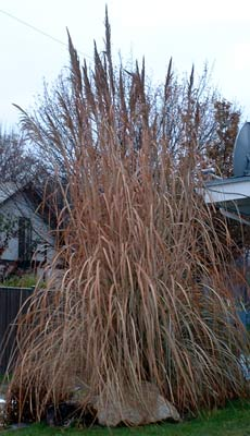Saccharum ravennae hardy pampas grass for Hardy tall ornamental grasses