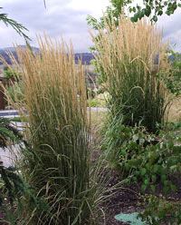 Ornamental grasses for landscaping gardening in borders for Tall border grass