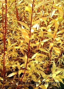 Salix x 'Flame' - Flame Willow